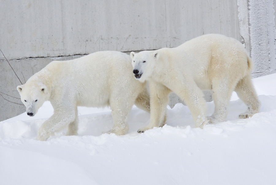 Ranua Zoo with famous polar bears - Hotel Aakenus ...